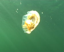 Jellyfish medusa Medusozoa underwater video Norway Stock Footage