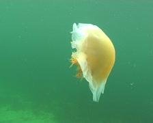 jellyfish medusa Medusozoa underwater video Norway - stock footage
