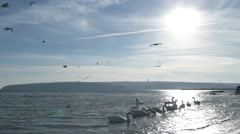 Swans in the sea, and over them circling flock of seagulls in slow motion Stock Footage