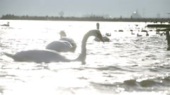 Swan in the sea to catch food in super slow motion Stock Footage