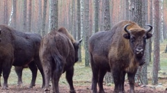 European bison in the natural reserve Stock Footage