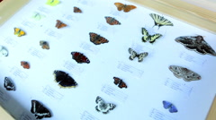 Prepared butterflies collection in the glass case at the museum Stock Footage