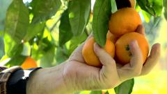 Man picked tangerines on the branches Stock Footage