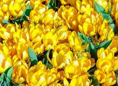 spring yellow crocuses (macro) - stock photo