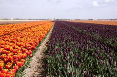 Stock Photo of bulb fields are still an enormous touristic attraction and a great economic p