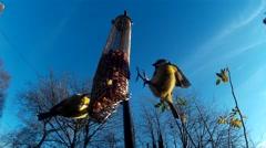 Blue tit (Cyanistes caeruleus) feeding Stock Footage