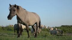 Feral Konik Horses Stock Footage