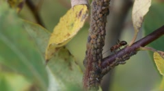 Red horse ant guarding aphids on a young tree Stock Footage