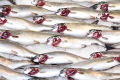 Bluefishes in fish market Stock Photos