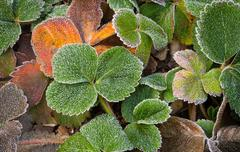 Frost on The Strawberry Leaves Stock Photos