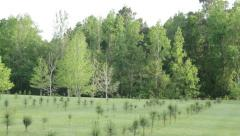 Pine tress reforestation - stock footage