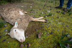 Sheep dead Stock Photos