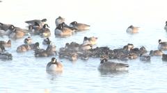 Ball of Ducks in Winter Stock Footage