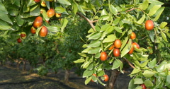 Red jujubes in the farm Stock Footage