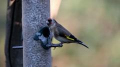 Goldfinch on Birdfeeder Stock Footage