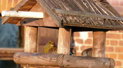 Sparrows and greenfinch in the bird feeder Stock Footage