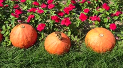 Pumpkins in farm Stock Footage