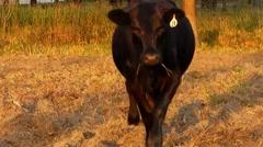 Curious cow walks closer Stock Footage