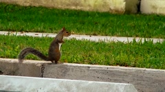 Little squirrel sitting on curb Stock Footage
