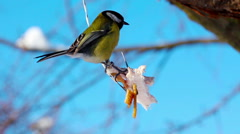 Blue tit bird eating from a fat in winter Stock Footage