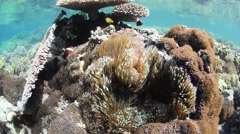 Dusky Anemonefish and Reef - stock footage