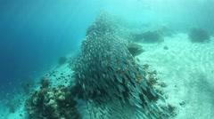 Large School of Fish Stock Footage