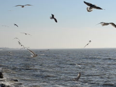 Seagulls in flight. Related clips are in my portfolio in 1920x1080. Stock Footage