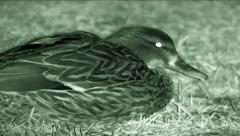 Night vision shot of ducks (Anas platyrhynchos) feeding  Stock Footage