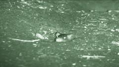 Night vision shot of a rat (Rattus) pokes his head out of his burrow  Stock Footage