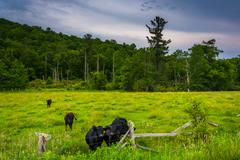 Cows in a field along the blue ridge parkway, near blowing rock, north caroli Stock Photos