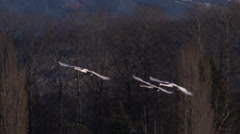 Swans In Flight Stock Footage