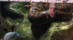 huge boa constrictor snake at the aquarium - stock footage