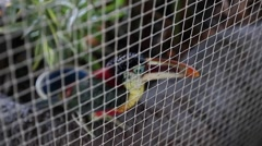 A toucan in a cage at the zoo Stock Footage