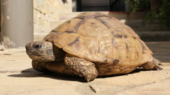Turtle pet medium shot. Turtle sunning and looking around in the backyard. - stock footage