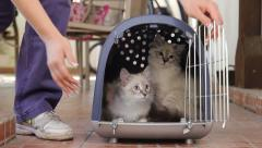 Two Persian cats in box for pets looking around. Female person opens door on box Stock Footage