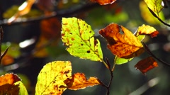 Autumnal beech leaves Stock Footage