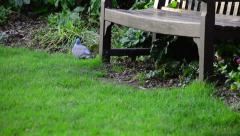 A Pigeon Pecks for Food Around a Bench Stock Footage