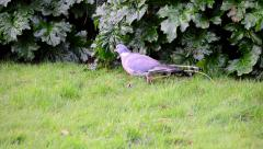 A Pigeon Walks Past the Camera In Search of Food Stock Footage