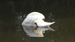 Mute Swan Preening itself on the Trent and Mersey Canal Stock Footage