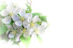 Apple tree blossom in spring - stock illustration