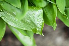 drops on green leafage - stock photo