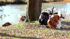 Turkey walking on grass over gees sviming in river background Stock Footage