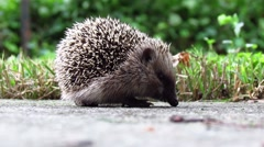 Hedgehog in the back yard - stock footage