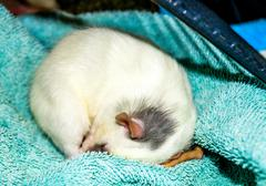 Rat curled up in sleep Stock Photos