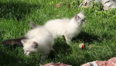 Two cute white Persian cats playing with small ball in the grass. Stock Footage