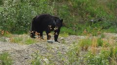 Black Bear Wandering and Eating In Yokon Territory Stock Footage