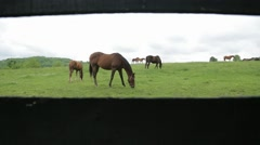 Horses in Kentucky grazing in a field of blue grass Stock Footage