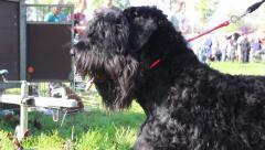 Giant Schnauzer posing at international dog show. Big black dog close up. Stock Footage