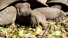 Aldabra giant tortoise eating Stock Footage