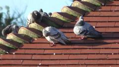 pigeons on a tiled roof top, preening their feathers - stock footage